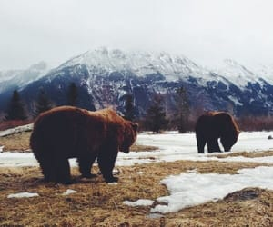animal, brown bear, and canada image