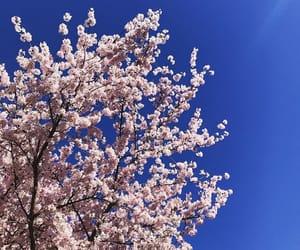 cherry blossom, DC, and flores image