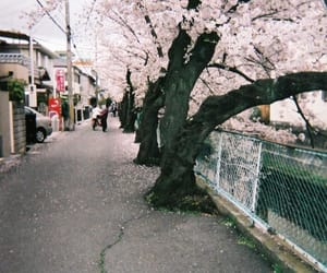 cherry blossoms, japan, and photography image