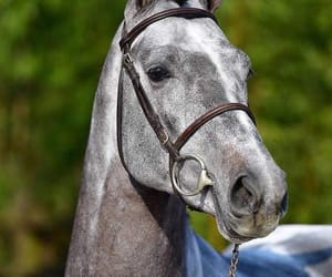 belgium, champion, and horse image