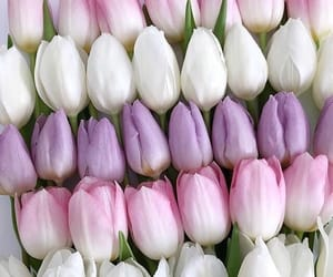 background, pink flowers, and pink tulips image