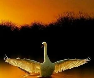 nature and Swan image