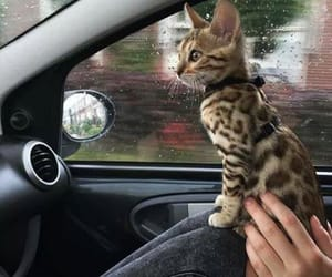 animals, bengal, and funny image