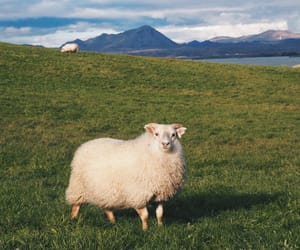 nature, sheep, and animal image