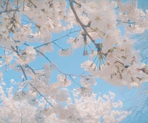 cherry blossoms, flower, and spring image