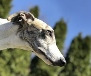 blue, whippet, and pale image