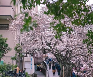 cherry blossoms and pretty image