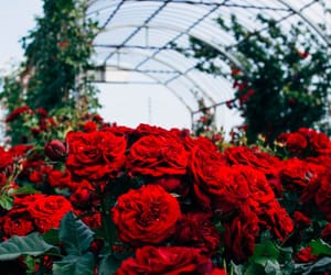 garden, roses, and green image