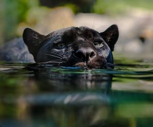 animal, panther, and wild image