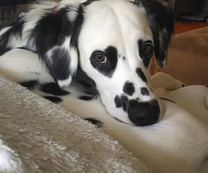 animals, blackandwhite, and dog image