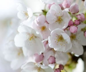 flowers, blossoms, and pink image