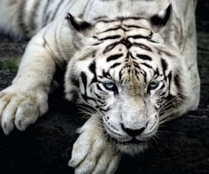 tiger, animal, and white image