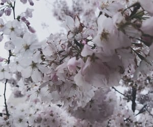 aesthetic, blossoms, and cherries image