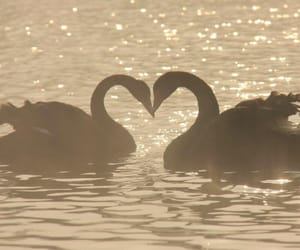 Swan, heart, and animal image