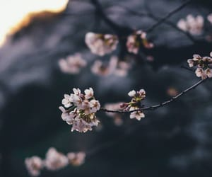 blossom, flower, and japan image