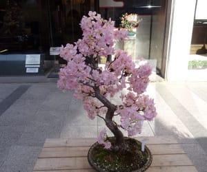 bonsai, cherry blossom, and color image