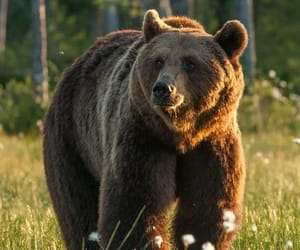 animals, bear, and brown image