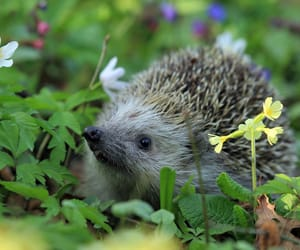 adorable, flowers, and hedgehog image
