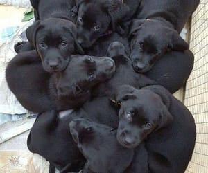 dogs, labradorretriever, and puppies image