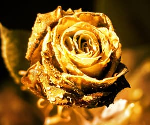 gold and rose image