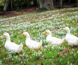 animals, country living, and ducks image
