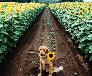 dog, sunflower, and flowers image