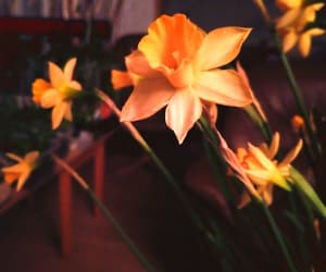 aesthetic, colorful, and daffodil image