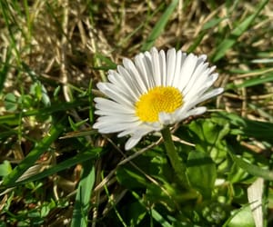 daisy, flower, and grass image