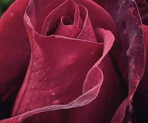 burgundy, flowers, and maroon image