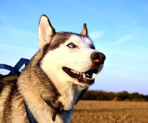 are huskies good dogs, how big do huskies get, and how much do huskies weigh image