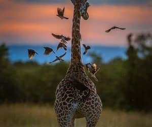 animals, giraffe, and wildlife image