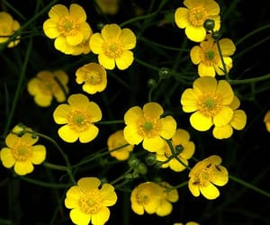 aesthetic, buttercups, and flowers image