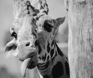 giraffe and cute image