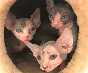 adorable, Gatos, and sphynx image