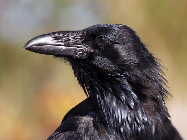 Animal Symbolism Ravens On We Heart It