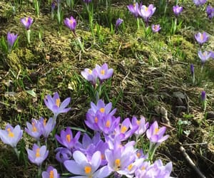 crocus, flowers, and green image