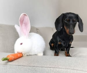 animals, bunny, and dachshund image