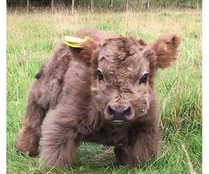 adorable, animals, and cow image
