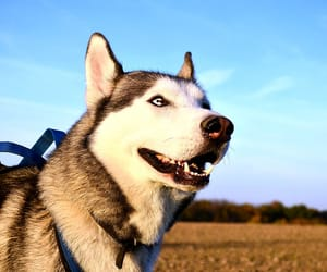 are huskies good dogs