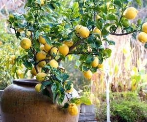 lemon, tree, and lemon tree image