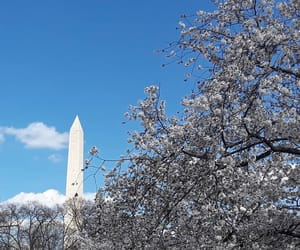cherry blossom, d.c., and monuments image