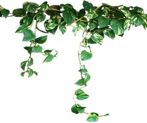 ivy, transparent, and png image