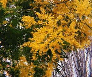 flower, forest, and mimosa image