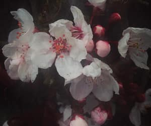 cherry blossom, pastel, and pink image
