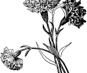carnation, drawing, and flowers image