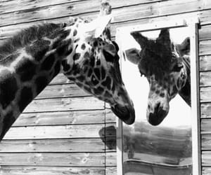 giraffe, black and white, and cute image
