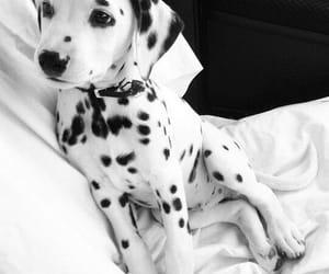 dalmatians image