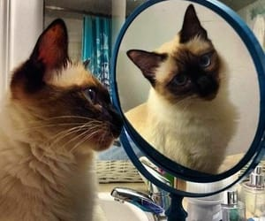 cats and siamesecats image