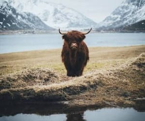 animals, cow, and yak image