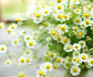chamomile, flower, and flowers image